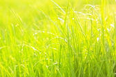 The green lush grass with drops — Stock Photo