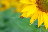 Yellow sunflower with a bee — Stock Photo
