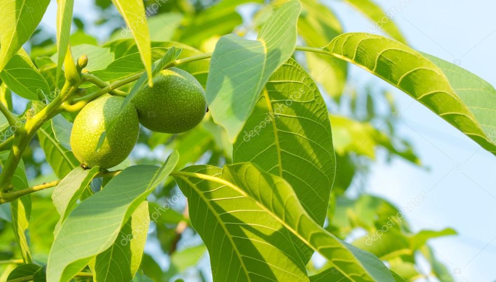 用树叶树枝上的两个绿色核桃 — 照片作者 alexlukin