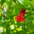 Stock Photo: Bright red flower pomegranate