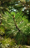 Green line barbed fragrant pine — Stock Photo