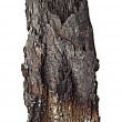 Charred wood with bark — Stock Photo