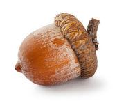 Ripe brown acorn — Stock Photo