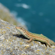Iberian lizard — Stock Photo
