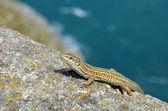 Iberian lizard — Stock Photo