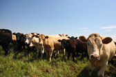 Small Herd of Heifers — Stock Photo