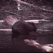 Beaver washing itself in river — Stock Video