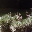 Wide shot of pink flamingos — Vidéo