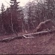 Stock Video: Wolf eating prey in wilderness