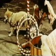 Stock Video: Circus dogs performing