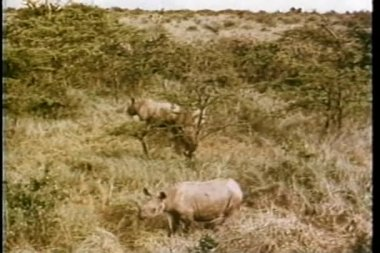 Montage - rhinos grazing in Africa — Stock Video