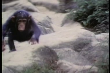 Monkey climbing down a rocky hill — Stock Video