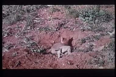 Two baby coyotes digging a hole in the wilderness — Stock Video