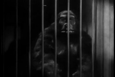 Man dressed in gorilla costume shaking cage bars — Stock Video