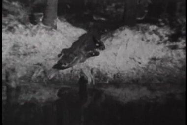 Crocodile crawling into river — Stock Video