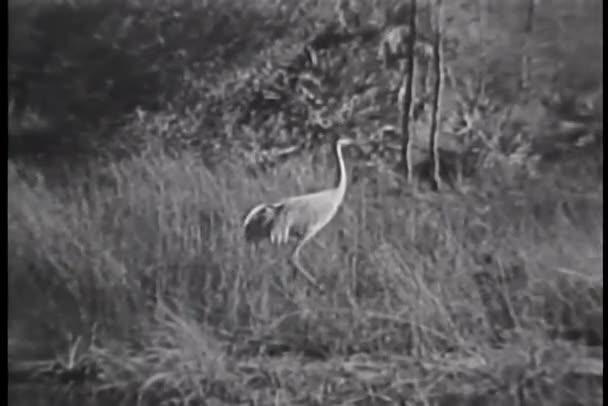 Garza caminar en la hierba alta, everglades de Florida — Vídeo de stock