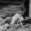 Foal in stable struggling to stand up — Vidéo