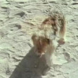 Startled dog running across sand — Stock Video