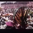Wide shot of butterfly fluttering on flower — Stock Video