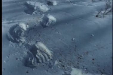 Trail of bloodstained paw prints in snow — Stock Video