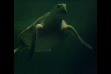 большая черепаха, плавание в аквариуме — Стоковое видео