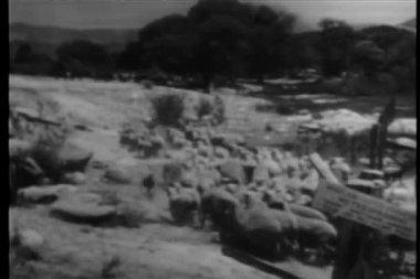 Zadní pohled na stádo ovcí podél řeky — Stock video