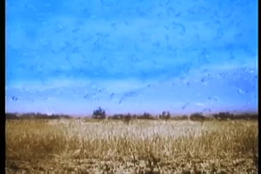 Flock of seagulls eating locusts in corn field — Stock Video