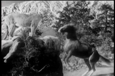 Koně, chov se vpředu vrčí puma — Stock video