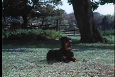 Two dogs lying on grass in yard — Stock Video