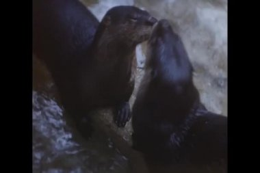 Close-up of otters cleaning each other — Stock Video