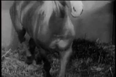 Horse walking in stable — Stock Video