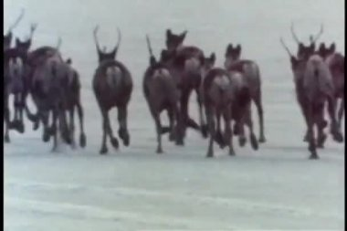 Rear view of caribou herd running away — Stock Video