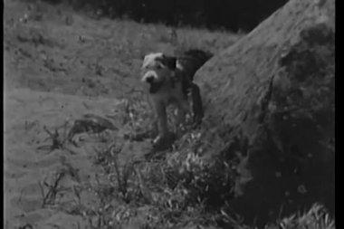 Hund som kör på sand — Stockvideo
