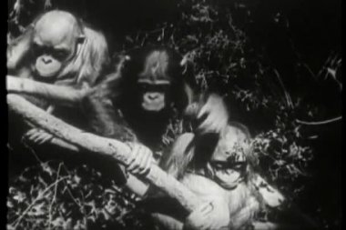 Three monkeys sitting in a tree — Stock Video