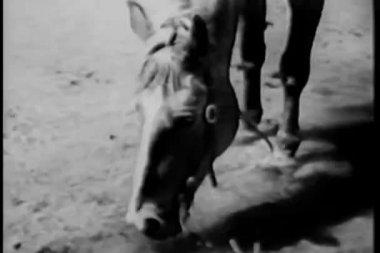 Medium shot of horse drinking water from river — Vídeo Stock