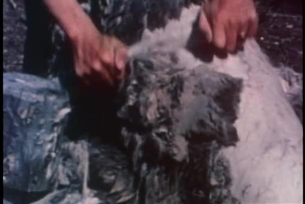 Moyen tiré des mains, grattant la fourrure de carcasse — Vidéo