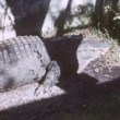 Panning shot of an alligator lying down at an alligator farm — Stock Video