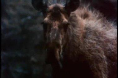 Ko älg och två kalvar — Stockvideo