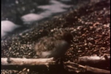 Silvertärna chick kör över karga terräng — Stockvideo