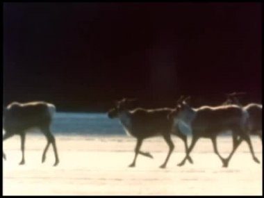 Herd of caribou running in slow motion across icy terrain — Stock Video