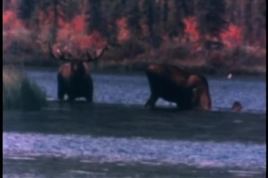 Moose watering themselves in a lake — Stock Video