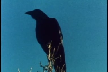 Crow perched on top of tree — Stock Video