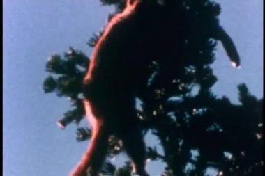 Eekhoorns klimmen fir tree — Stockvideo