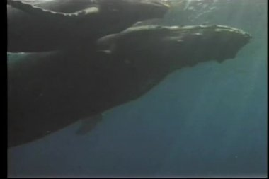 Whale and her offspring swimming close to ocean surface — Stock Video