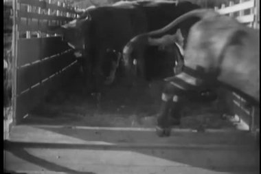Cattle escaping from truck — Stock Video