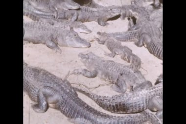 Group of alligators on an alligator farm — Stock Video