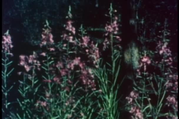 Nature morte de fleurs d'épilobe à feuilles étroites — Vidéo