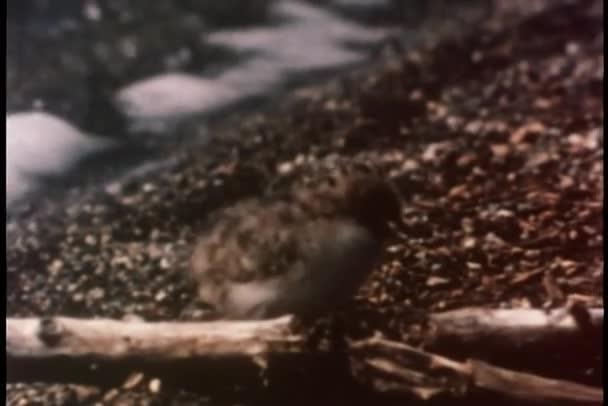 Poussins de sterne arctique qui traverse le terrain aride — Vidéo