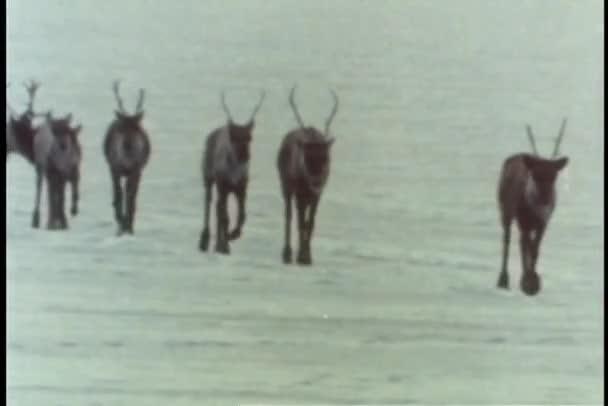 Troupeau de caribous marchant sur terrain glacé — Vidéo