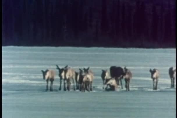Membre du troupeau de caribous de tomber dans la glace sur le lac — Vidéo